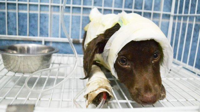 El es Chocolate, el cachorro víctima de un brutal maltrato animal y que está luchando gracias a la ayuda de todos los que colaboran de manera desinteresada.